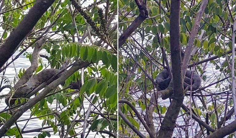Zmija na drvetu, okej…ali dve zmije na istom drvetu (FOTO)