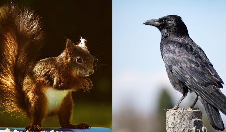Šta se dogodi kad se susretnu veverica i vrana? (VIDEO)